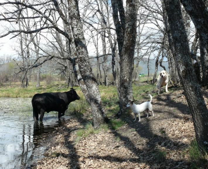perros y vaca (2)