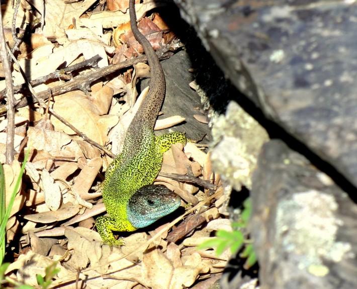 lagarto verdinegro