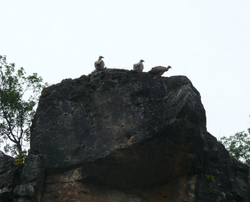 Buitres en las Hoces del Jarama