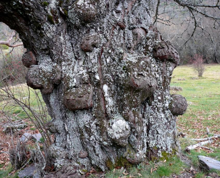 viejo tronco del cerezo